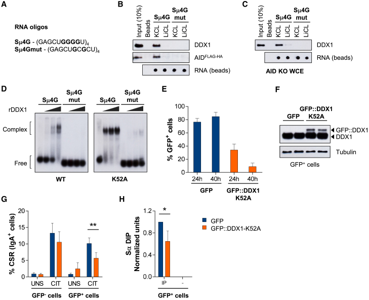 DDX1 Binds to G4 Structures in Intronic Switch RNAs (A) RNA oligonucleotides consisting of 4 tandem Sμ repeats (Sμ4G) or a G-to-C mutant (Sμ4Gmut). (B and C) RNA pull-down assays with protein extracts from (B) AID FLAG-HA or (C) AID KO CH12 cells, CIT stimulated for 48 hr. Western blots were analyzed for DDX1 and AID (FLAG tag) and RNA recovered from beads measured by dot blot. Representative results from at least 3 independent pull-downs. (D) Native electrophoretic mobility shift assays (EMSA) with 32 P-labeled Sμ4G and Sμ4Gmut RNA oligonucleotides and rDDX1 (WT) or rDDX1-K52A (ATPase mutant) proteins (1, 2, or 4 μg). Representative results from at least 3 independent assays. (E–H) CH12 cells were transfected with a pcDNA3 vector expressing GFP or N-terminal GFP-tagged human DDX1-K52A cDNA (GFP::DDX1-K52A), and cultured in UNS or CIT-stimulated conditions. (E) Percentage of GFP + cells 24 hr and 40 hr after transfection measured by flow cytometry (n = 4, mean ± SD). (F) Western blot of GFP + , fluorescence-activated cell sorted cells for DDX1 and Tubulin loading control (24 hr after transfection, 2 replicates). (G) Quantification of CSR in GFP – and GFP + -gated cell populations (40 hr after transfection; n = 4, mean ± SD). (H) DIP analyses with S9.6 antibody (IP) or no antibody control (–), 24 hr after transfection in CIT-stimulated conditions using Sα region probe 9. Values were normalized to probe 2 in each sample and probe 9 in shCtrl CIT cells in each experiment (n = 3, mean ± SD). See also Figure S4 .