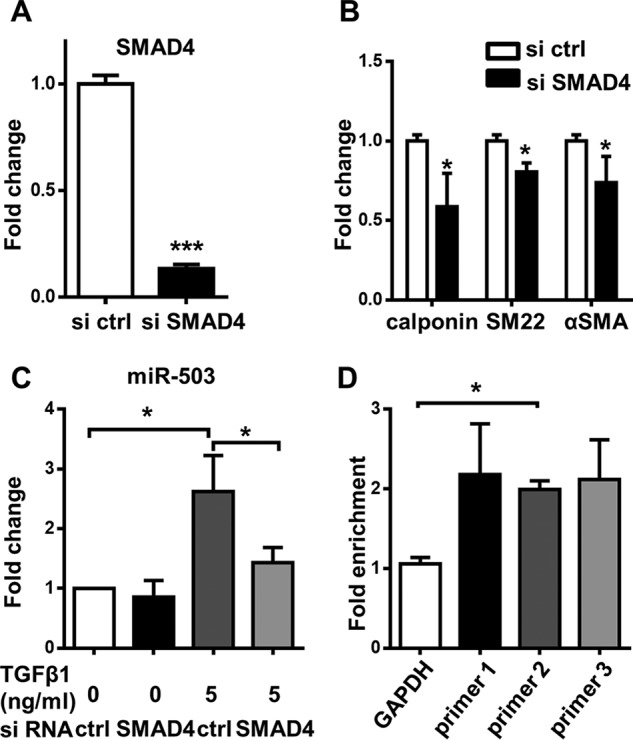 miR-503 is transcriptionally up-regulated through SMAD4-dependent pathway. A, SMAD4 mRNA was detected with Q-PCR after treatment with siRNA for 1 day in αMEM with 1% FBS and 5 ng/ml TGFβ1. B, Q-PCR of SMC markers after siRNA transfection for 2 days in αMEM with 1% FBS and 5 ng/ml TGFβ1. C, level of miR-503 detected with TaqMan microRNA assay after cells were treated with siRNA with or without TGFβ1 for 2 days. D, MSCs were starved and then treated with or without TGFβ1 for 4 h and then harvested for ChIP experiments. Cells cultured without TGFβ1 were used as a control. Three primers (primer 1, primer 2, and primer 3) specific to the miR-503 promoter region were used to detect the enrichment of SMAD4. A primer specific to the GAPDH promoter region was used as a negative control. Fold enrichment was calculated against input and the control without TGFβ1 treatment. Data were obtained from at least three independent experiments and shown as mean ± S.D. Statistics were obtained with t test ( A and B ) or one-way ANOVA ( C and D ), followed by Bonferroni post hoc analysis. *, p