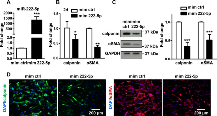 miR-222-5p inhibits SMC differentiation from MSCs. A, level of miR-222-5p was detected with TaqMan microRNA assay. B, Q-PCR showed the gene expression of SMC markers (calponin and αSMA) after cells were treated with miRNA mimics in αMEM with 1% FBS and 5 ng/ml TGFβ1 for 2 days. C, representative Western blotting image and analysis after cells were treated with miRNA mimics in αMEM with 1% FBS and 5 ng/ml TGFβ1 for 2 days were obtained from three independent experiments. D, immunofluorescent staining showed the intensity of SMC markers (calponin and αSMA) after miR-222-5p treatment for 2 days. Cell nucleus was stained with DAPI ( blue ). Representative images were obtained from three independent experiments. Data were obtained from at least three independent experiments and shown as mean ± S.D. *, p
