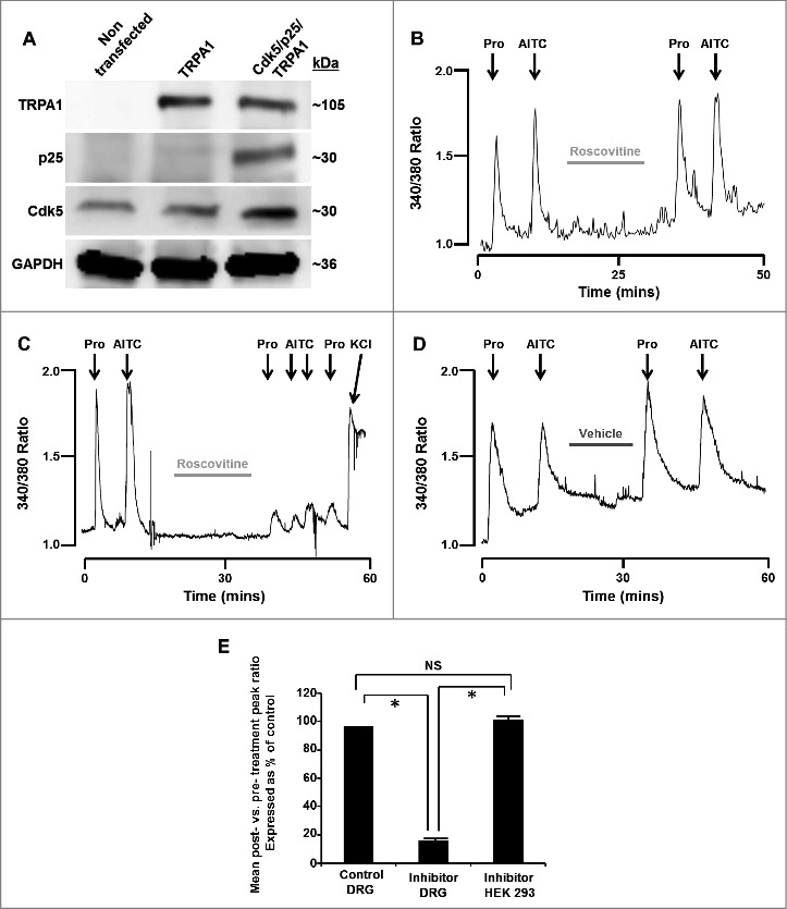 (A) Representative western blot images depicting the presence or absence of TRPA1, p25 or Cdk5 in HEK293 cells that were either non-transfected or transfected with TRPA1 only or Cdk5, p25 and TRPA1. GAPDH was probed as a loading control. (B) Representative trace depicting [Ca 2+ ] i transients induced by propofol and AITC (TRPA1 agonists) in the absence and presence of roscovitine (50 µM) in TRPA1/TRPV1-transfected HEK293 cells (which lack Cdk5 activity). Cells were exposed to propofol (Pro, 10 µM) and AITC (100 µM) for 60 seconds at the time points marked by arrows. (C) Representative trace depicting [Ca 2+ ] i transients induced by propofol and AITC in the absence and presence of roscovitine (50 µM) in DRG neurons. Cells were exposed to potassium chloride (KCl, 50 mM) for 30 seconds to demonstrate cell viability after exposure to roscovitine. (D) Representative control trace depicting [Ca 2+ ] i transients induced by propofol and AITC in the absence and presence of DMSO vehicle (0.1%) in DRG neurons. E) Summarized data for experiments represented in panels B-D expressed as % of control ± SEM. NS = Not significant. n = 8 separate experiments, p