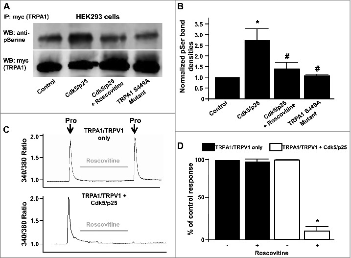 (A) Representative western blot depicting phosphoserine immunoreactivity in HEK293 lysates from myc-tagged TRPA1 (myc-TRPA1) expressing cells co-transfected with either control RFP vector, Cdk5/p25 (in the presence or absence of roscovitine) or TRPA1 S449A mutant cDNAs. Lower blot shows myc-TRPA1 immunoreactivity in the same lanes after stripping and reprobing. (B) Summarized data for panel A, illustrating normalized TRPA1 phosphoserine immunoreactivities ± SEM. n = 6, p