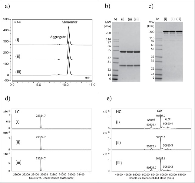 Comparing the quality of a human IgG1 purified by (i) conventional column, (ii) automated tip column and (iii) batch mode. (a) Analytical SEC profiles of purified IgG1. (b) Reduced <t>SDS-PAGE,</t> M: Mark 12 standard. (c) Non-reduced SDS-PAGE. (d) LC-MS intact mass analysis of light chain. (e) LC-MS intact mass analysis of heavy chain. No significant difference in purity or measured masses was observed in purified <t>IgG</t> from automated processes compared to a conventional column process. Glycosylation variants abbreviations: Man5 (Man 5 GlcNAc 2 ), G0F (GlcNAc 2 Man 3 GlcNAc 2 ), G1F (GalGlcNAc 2 Man 3 (Fuc)GlcNAc 2 ), where: Man (mannose), GlcNAc (N-acetylglucosamine), Gal (Galactose), Fuc (Fucose).