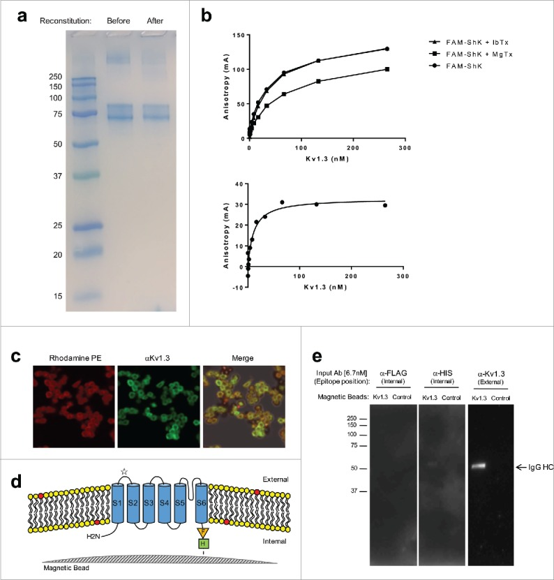 Purification of recombinant Kv1.3. a. SDS-PAGE analysis of purified and reconstituted Kv1.3. Kv1.3 was purified as described in Materials, resolved by SDS-PAGE before and after reconstitution into liposomes and stained with SimplyBlue™ SafeStain™. B. Ligand Binding Analysis. Kv1.3-containing liposomes were incubated with FAM-ShK (3 nM) in the presence or absence of a 50-fold excess of either MgTx or IbTx. Top Panel is a representative experiment showing total binding expressed as Anisotropy measured by fluorescence polarization. Bottom Panel represents specific binding to FAM-ShK. Kd was estimated as 11.5 nM +/− 3.4 nM based on specific binding curves generated in three separate experiments c. Fluorescence microscopy analysis of Kv1.3 magnetic beads. Magnetic beads containing tethered Kv1.3 reconstituted into a lipid bilayer consisting of rhodamine-labeled PE and non-labeled PC were examined by fluorescence microscopy. Beads were examined under a rhodamine filter to detect labeled PE incorporation (Left Panel) and with a FITC-filter following labelling with an anti-Kv1.3 antibody that recognizes an epitope on the first extracellular loop and anti-guinea pig conjugated FITC (Middle Panel). Rhodamine and FITC- images were merged (Right Panel) to confirm co-localization of Kv1.3 and the lipid bilayer (yellow fluorescence). D. Schematic illustration of Kv1.3 magnetic beads. Shown is the magnetic bead surface; the lipid bilayer consisting of PC (yellow lipids) and Rhodamine-labeled PE (red lipids); the six transmembrane domains of the Kv1.3 monomer (S1-S6); the C-terminal engineered FLAG (orange Triangle) and 10Xhis (Green Box) tags; a star indicates the position of the epitope on the first extracellular loop that is recognized by the Kv1.3 antibody utilized in c and e. e. Kv1.3 magnetic beads preferentially precipitate an antibody that recognizes an extracellular epitope. Kv1.3 magnetic beads or control beads were incubated with antibodies (6.7 nM) that recognize either