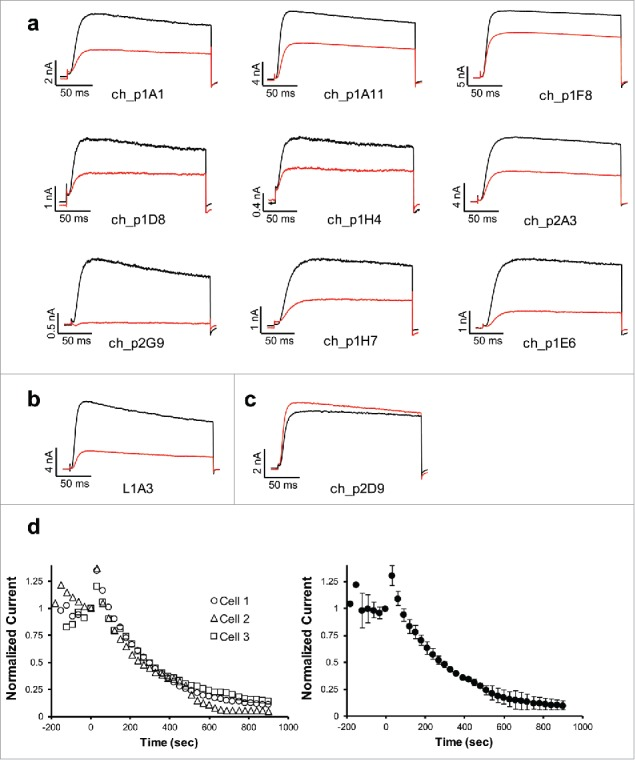 Identification of anti-Kv1.3 antibodies that functionally inhibit Kv1.3 channel activity. Purified scFv-Fc anti-Kv1.3 antibodies from either chickens or llamas were tested at a concentration of 400nM via electrophysiology for their ability to block current from human Kv1.3 expressed in L929 fibroblast cells. Shown are representative traces for each of the antibodies that blocked Kv1.3 current. Black lines represent control currents, red lines represent currents following addition of antibody. Inhibiting anti-Kv1.3 antibody clones derived from chickens are shown in a, the functional llama anti-Kv1.3 antibody is shown in b. An example of an antibody that was tested and shown not to modulate Kv1.3 activity is shown in c. d. Time-dependent development of current inhibition by monoclonal antibodies targeting Kv1.3. (Left Panel) Time-current plots showing current inhibition of three (3) individual cells expressing hKv1.3 channels by the monoclonal antibody ScFv-Fc L1A3. Antibodies were added after current stabilization at 0 second. Currents were elicited by pulsing to +40 mV for 200 ms from a holding potential of −80 mV every 30 seconds. (Right Panel) Means ± SD plot of the current inhibition of three individual cells in the left panel. Similar time-dependent profiles were observed for each of the blocking antibodies.