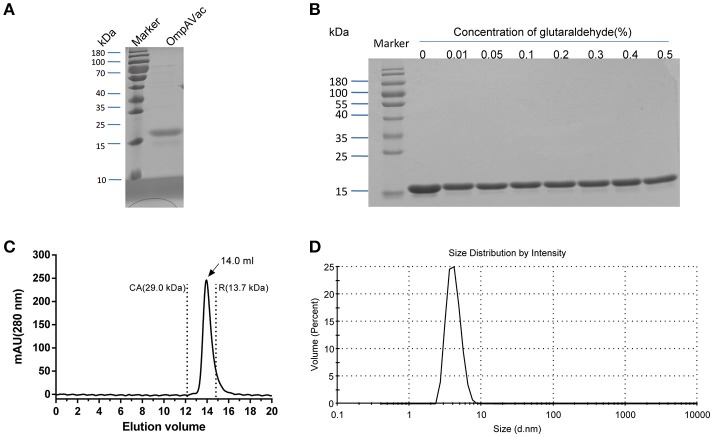 Characterization of purified OmpAVac. (A) SDS-PAGE analysis of OmpAVac. The purity of OmpAVac was ~93.2%, as determined based on the density of the corresponding band in an SDS-PAGE gel. (B) Cross-linking assay of OmpAVac. The concentrations of glutaraldehyde in lanes 1–8 were 0, 0.01, 0.05, 0.1, 0.2, 0.3, 0.4, and 0.5%, respectively. No oligomers or aggregates were observed. (C) Chromatography analysis of OmpAVac. OmpAVac produces a symmetrical peak at 14.0 mL, and the elution volumes of the protein standards CA (carbonic anhydrase) and R (ribonuclease A) were 12.2 and 13.7 mL, respectively. (D) Dynamic light-scattering analysis of OmpAVac resulted in a symmetrical peak with a diameter of 3.8 nm.