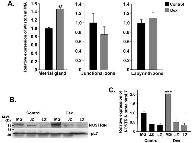 Effect of Dexamethasone (Dex) induced IUGR on NOSTRIN expression at gestation Day 20.5 in utero-placental tissues. ( A ) Quantitative real time PCR analysis of Nostrin transcript using RNA from three distinct utero-placental zones, Metrial gland (MG), Junctional zone (JZ) and Labyrinth zone (LZ) ofDex-treated and Control animals. The transcript levels were normalized relative to Rpl7 . Experiments were repeated using five independent biological replicates. Error bars represent standard errors of mean. ( B ) Western blot analysis of NOSTRIN using the same tissue samples as described in ( A ). RpL7 was used as a loading control. Experiments were repeated using five independent biological replicates. ( C ) Quantification of NOSTRIN levels in Control and Dex treatment (from B) normalized to the loading control using ImageJ software. A significant (p