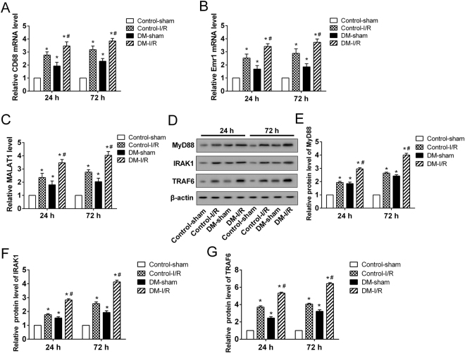 The expression of MALAT1, MyD88, IRAK1 and TRAF6 in DM-I/R rats at 24 and 72 hours after cerebral I/R injury. The mRNA expressions of (A) CD68 and (B) Emr1, which were the makers of the microglial cells in the peri-infarct cortical tissue of rats, were determined by qRT-PCR. (C) The expression of MALAT1. (D) Representative Western blot analysis of MyD88, IRAK1, TRAF6 protein. The relative expressions of (E) MyD88, (F) IRAK1, (G) TRAF6 protein were measured. *P