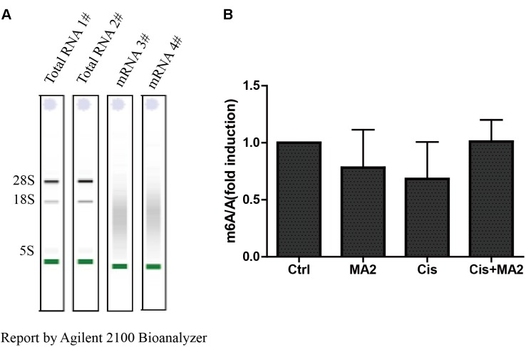 (A) The quality of mRNA analyzed by an Agilent 2100 Bioanalyzer. (B) The m 6 A/A ratio in the four groups of samples normalized to the DMSO control group. There were no significant differences in the m 6 A/A ratio in any of the groups.