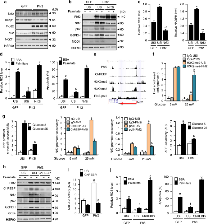 Phf2 and ChREBP decrease oxidative stress through Nrf2 activation. Mice, injected with either GFP or Phf2 overexpressing adenovirus, were studied 3 weeks later in fed state. a Representative Western blot analysis of Nrf2 protein content and Nrf2-regulated genes ( n = 10 mice per group). b – d Nrf2 was inhibited in cultured hepatocytes overexpressing Phf2. b Western blot analysis of proteins involved in oxidative stress defenses ( n = 3). GSH and NADPH contents ( c ) in addition to ROS levels and hepatocyte apoptosis ( d ) were determined after incubation with 480 μM palmitate for 24 h ( n = 3). e UCSC genome browser image illustrating normalized tag counts for Phf2, ChREBP, H3K9me2, H3K4me3, and RNA polII at the Nrf2 promoter. ( f , g ) Phf2 was inhibited in cultured hepatocytes. ChIP for H3K9me2, ChREBP, and RNA polII, in addition to chromatin accessibility at the Nrf2 promoter and Nrf2 activity on the <t>ARE-luc</t> construct shown ( n = 3). h – j ChREBP expression was inhibited in cultured hepatocytes overexpressing Phf2. h Representative western blot analysis showing the contribution of ChREBP to the regulation of Nrf2 and Nrf2-regulated gene expression. i Nrf2 activity on the ARE-luc construct shown. j Relative ROS levels and measurement of hepatocyte apoptosis were determined after incubation with 480 μM palmitate for 24 h ( n = 3). All error bars represent mean ± SEM. Statistical analyses were made using Anova, followed by Bonferonni's test. * P