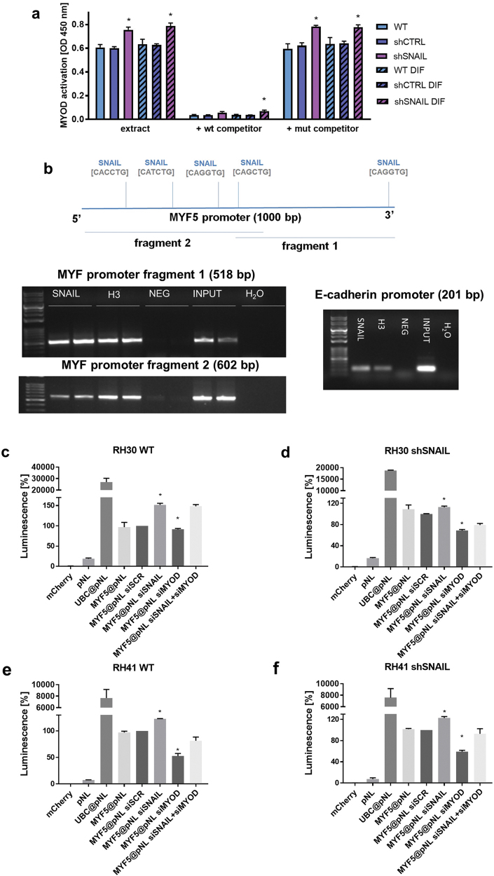 SNAIL is a direct transcriptional repressor of <t>MYF5</t> expression and regulator of MYOD activity. a SNAIL silencing in RH30 cells induces MYOD binding to GC rich E-Box sequences. Nuclear protein extracts from both undifferentiated RH30 cells and RH30 cells differentiated for 7 days in medium supplemented with 2% HS were used in TransAM MyoD DNA-binding ELISA. To monitor the specificity of the assay, the wild-type consensus oligonucleotide (wt) and mutated (mut) sequences were used as competitors for MYOD binding from cell extracts; n = 3. b SNAIL binds to the MYF5 and E-cadherin promoters in RH30 cells. The promoter of MYF5 (~1000 bb) was screened for putative SNAIL transcription factor binding sites and the results were validated by Chip Assay. The images depict one representative result of the ChIP assay. Proteins bound to DNA were immunoprecipitated with the anti-SNAIL antibody, negative IgG control, positive histone H3 control and input DNA control was analyzed. Fragments of the MYF5 and E-cadherin promoters were amplified by PCR and visualized on agarose gels stained with ethidium bromide. c SNAIL silencing by siRNA in RH30 WT cells induces MYF5 promoter activation and luciferase expression when cells are transfected with MYF5@pNL plasmid (luciferase under control with MYF5 promoter), whereas MYOD silencing by siRNA does not exert any effect. SNAIL and MYOD compete for binding to MYF5 promoter in RH30 shSNAIL cells ( d ), RH41 WT ( e ), and RH41 shSNAIL cells ( f ), when cells are transfected with MYF5@pNL plasmid and siRNA against SNAIL, MYOD or siSCR (scrambled siRNA). The data were normalized to mCherry fluorescence level in each well. pNL (luciferase plasmid without promoter) served as a negative control and Ubc@pNL plasmid (luciferase under control of ubiquitin C promoter) was a positive control. The data represent the mean ± SEM or are representative images of at least 3 independent experiments. * p