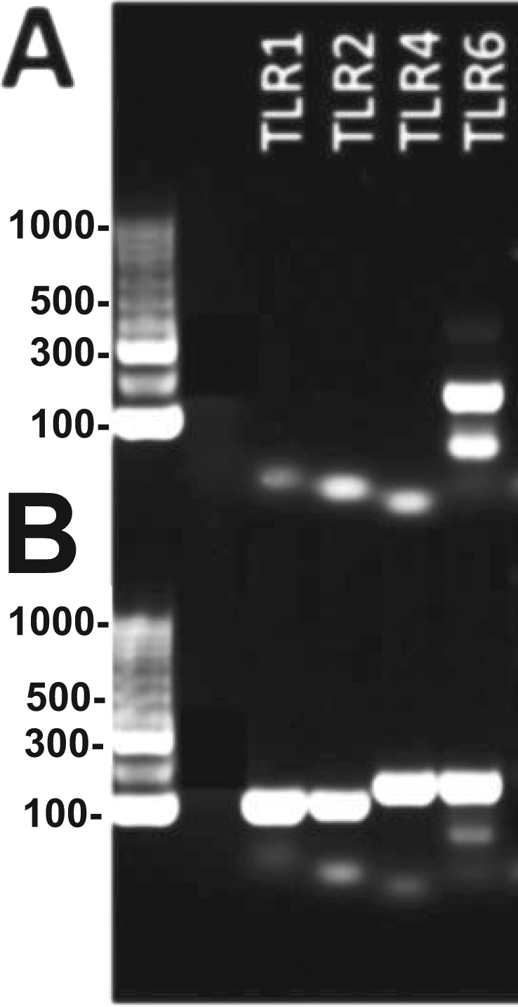 PCR reactions for equine TLR s. Reactions performed with ( A ), DNA sample obtained from e-CAS cells and ( B ), DNA sample obtained from eqT8888 cells. L: Ladder. The picture has been cropped for clarity and conciseness. A picture of the full-length gel is presented in Supplementary Fig. S1 .
