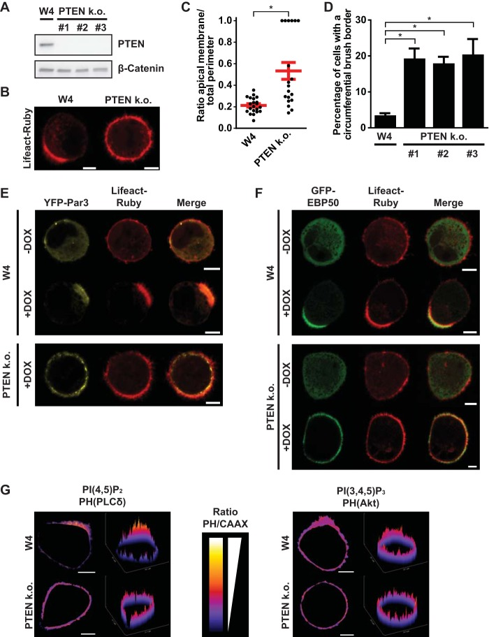 PTEN knockout (k.o.) W4 cells cannot restrict apical membrane formation. (A) Western blot of W4 cell and PTEN k.o. cell lysates probed for PTEN and β-catenin. (B) Localization of the actin marker Lifeact-Ruby in polarized W4 cells and PTEN k.o. cells. Scale bars, 5 μm. (C) Quantification of apical membrane size in doxycycline-stimulated W4 cells and PTEN k.o. cells. Red bars represent the average. Error bars represent the standard error of the mean (SEM) ( n > 19). *, P