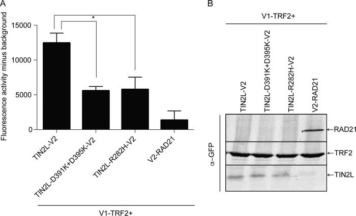 The protein complementation assay confirms the effects of the R282H mutation and a phosphorylation site mutation on TIN2L interaction with TRF2. (A) Quantification of fluorescence from coexpression of V1-TRF2 with TIN2L-V2, TIN2L-D391K+D395K-V2, or TIN2L-R282H-V2. Error bars represent the SDs from three separate transfections each measured in triplicate. *, P