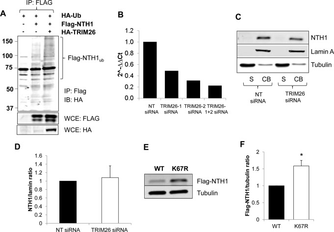 Cellular NTH1 protein levels are regulated by ubiquitylation by TRIM26. (A) HCT116 cells were grown in 10-cm dishes for 24 h to 90% confluence and then treated with Lipofectamine 2000 transfection reagent (10 μl) in the presence of mammalian expression plasmids for HA-tagged ubiquitin (1 μg), Flag-tagged NTH1 (500 ng), and HA-tagged TRIM26 (1 μg) for 24 h. The cells were then treated with MG-132 (10 μM) for 8 h, and whole-cell extracts were prepared and Flag-NTH1 purified, using anti-Flag magnetic beads, from extracts containing equal amounts of total protein. Proteins bound to the beads were analyzed by 10% SDS-PAGE and immunoblotting (IB) with HA antibodies to detect ubiquitylated NTH1. IP, immunoprecipitation. Molecular mass (kilodalton) markers are indicated on the left. (B to D) HCT116 cells were grown in 10-cm dishes for 24 h to 30 to 50% confluence and then treated with Lipofectamine RNAiMax transfection reagent (10 μl) in the presence of 800 pmol NT or TRIM26 siRNA for 72 h. (B) RNA and subsequently cDNA were prepared from cells, and quantitative PCRs using primer pairs for trim26 and actin were performed. Fold changes in the levels of trim26 mRNA relative to actin are shown. (C) Proteins were separated by biochemical fractionation, and the soluble (S) and chromatin-bound (CB) fractions were analyzed by 10% SDS-PAGE and immunoblotting with the indicated antibodies. (D) Levels of NTH1 protein relative to lamin A in the chromatin-bound fraction were quantified from the results of at least three independent experiments, and the mean NTH1/lamin A ratio with standard deviation normalized to the NT siRNA-treated control, which was set to 1.0, is shown. (E and F) HCT116 cells were grown in 10-cm dishes for 24 h to ∼90% confluence and then treated with Lipofectamine 2000 transfection reagent (10 μl) in the presence of 250 ng mammalian expression plasmids for Flag-tagged WT or an NTH1 mutant (K67R) for 24 h. (E) Whole-cell extracts were prepared and analyzed by 10% S