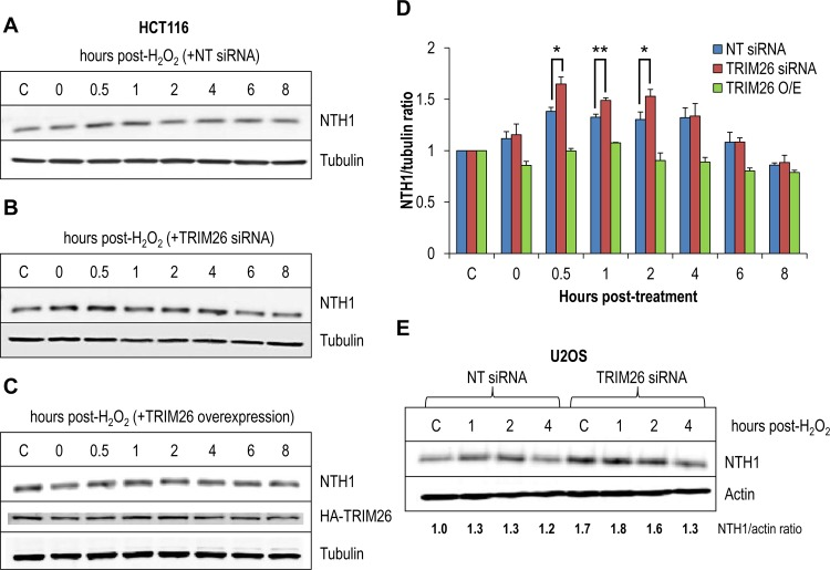 Cellular NTH1 protein levels are induced in response to oxidative stress controlled by TRIM26. (A and B) HCT116 cells were grown in 10-cm dishes for 24 h to 30 to 50% confluence and then treated with Lipofectamine RNAiMax transfection reagent (10 μl) in the presence of 800 pmol NT siRNA (A) or TRIM26 siRNA (Β) for 72 h. (C) HCT116 cells were also grown in 10-cm dishes for 24 h to ∼90% confluence and then treated with Lipofectamine 2000 transfection reagent (10 μl) in the presence of a mammalian expression plasmid for TRIM26 (1 μg) for 24 h. Cells were either left untreated (lane C) or treated with hydrogen peroxide (150 μM for 15 min) and harvested at various time points following incubation. Whole-cell extracts were prepared and analyzed by 10% SDS-PAGE and immunoblotting with the indicated antibodies. (D) Levels of NTH1 protein relative to tubulin were quantified from the results of at least three independent experiments. Shown is the mean NTH1/tubulin ratio with standard error normalized to that of the untreated control, which was set to 1.0. *, P