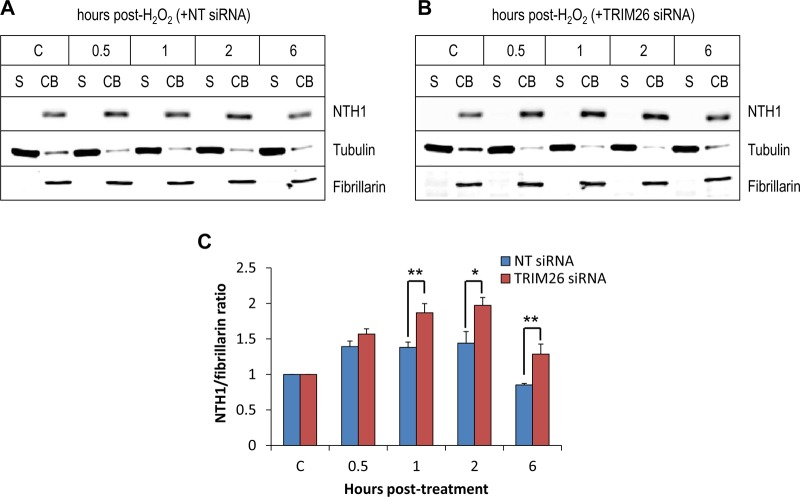 NTH1 protein accumulates on chromatin in response to oxidative stress, which is controlled by TRIM26. (A and B) HCT116 cells were grown in 10-cm dishes for 24 h to 30 to 50% confluence and then treated with Lipofectamine RNAiMax transfection reagent (10 μl) in the presence of 800 pmol NT siRNA (A) or TRIM26 siRNA (Β) for 72 h. Cells were either left untreated (lane C) or treated with hydrogen peroxide (150 μM for 15 min) and harvested at various time points following incubation, and proteins were separated by biochemical fractionation. The soluble (S) and chromatin-bound (CB) fractions were analyzed by 10% SDS-PAGE and immunoblotting with the indicated antibodies. (C) Levels of NTH1 protein relative to fibrillarin in the chromatin-bound fraction were quantified from the results of at least three independent experiments; shown is the mean NTH1/fibrillarin ratio with standard deviation normalized to that of the NT siRNA-treated control, which was set to 1.0. *, P