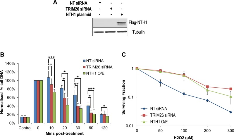 Cellular sensitivity to oxidative stress is controlled by TRIM26 through NTH1 regulation. (A to C) HCT116 cells were grown in 10-cm dishes for 24 h to 30 to 50% confluence and then treated with Lipofectamine RNAiMax transfection reagent (10 μl) in the presence of 800 pmol NT siRNA or TRIM26 siRNA for 72 h. Cells were also treated with Lipofectamine 2000 transfection reagent (10 μl) in the presence of 500 ng mammalian expression plasmid for NTH1 (NTH1 O/E) for 24 h. (A) Whole-cell extracts were prepared and analyzed by 10% SDS-PAGE and immunoblotting with the indicated antibodies. (B) Cells were treated with hydrogen peroxide (12.5 μM), and DNA single-strand breaks and alkali-labile sites were measured at various time points postincubation by the alkaline comet assay. Shown are the percentages of tail DNA with standard deviations from the results of at least three independent experiments. *, P