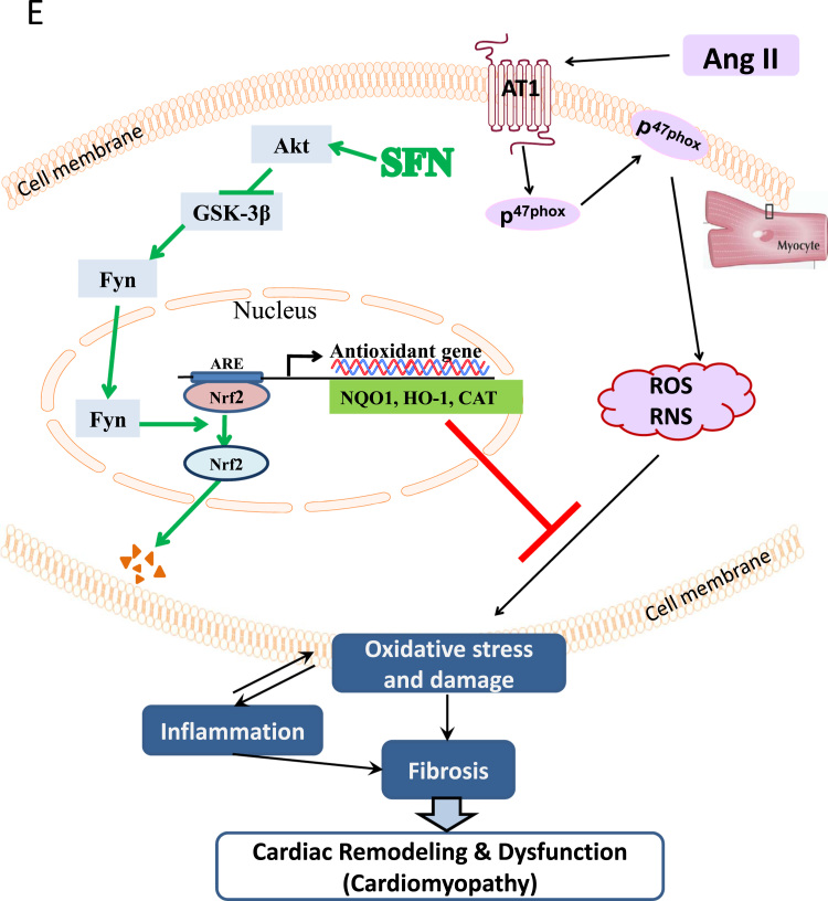 Up-regulation of Nrf2 by SFN is partially achieved through the AKT/GSK-3β/Fyn pathway. Cardiac tissues were collected as described in Fig. 1 . Cardiac Akt ( A ) and GSK-3β ( B ) phosphorylation was examined by Western blot. The nuclear translocation of Fyn was determined by immunofluorescent staining of Fyn nuclear accumulation (red) on heart tissue sections ( C , bar = 100μm) and Western blot assay of Fyn expression in cardiac nuclear fraction ( D ). Data are presented as the mean ± SD (n = 7). *, p