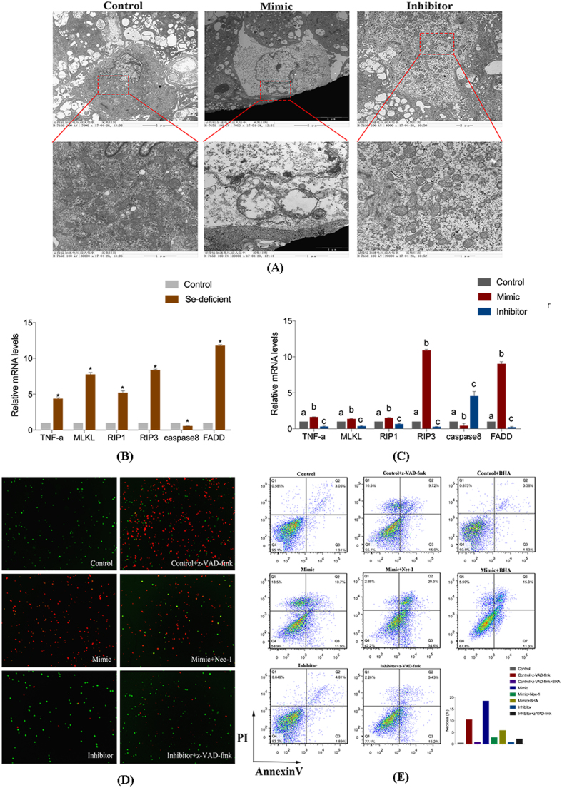 miR-200a-mediated modulation of RIP3-mediated necroptosis. (A) The ultrastructural changes of cardiomyocytes transfected with mimic, inhibitor and control cardiomyocytes. (B) The mRNA expression of TNF-α, MLKL, RIP1, RIP3, Caspase8 and FADD in the control myocardial tissue and Se-deficient myocardial tissue. Bars represent the mean ± SD of 30 individuals. *p