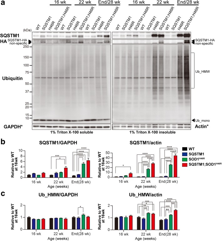 Overexpression of SQSTM1 increases the insoluble poly-ubqiuitinated proteins in the spinal cord of  SOD1 H46R -expressing mice.  a  Western blot analysis of SQSTM1, SQSTM1-HA (HA) and Ubiquitin (Ub) in the spinal cord from wild-type (WT),  SQSTM1  (SQSTM1),  SOD1 H46R  (H46R), and  SQSTM1 ; SOD1 H46R  (SQSTM1;H46R) mice at 16weeks of age (wk), 22 wk., and end-stage (H46R and SQSTM1;H46R) or 28 wk. (WT and SQSTM1). Two fractions; 1% Triton X-100 soluble and 1% Triton X-100 insoluble/5%SDS soluble fractions were analyzed. SOD1_mono and SOD1_HMW represent monomeric and high molecular-weight forms of SOD1, respectively. Ub_mono and Ub_HMW represent monomeric ubiquitin and poly-ubiquitinated proteins, respectively. GAPDH and β-actin (Actin) were used for a loading control in Triton X-100-soluble and -insoluble fractions, respectively. Since the blots used in these western analyses were same as those in Fig.   6a , same images for GAPDH and Actin (asterisks) in Fig.   6a  were used again as references.  b  Quantification of soluble and insoluble SQSTM1.  c  Quantification of soluble and insoluble poly-ubiquitinated proteins (Ub_HMW).  b, c  Values are mean±s.e.m. ( n =4) in an arbitrary unit relative to WT mice at 16weeks of age. Signal intensities were normalized by the levels of GAPDH (soluble fractions) and Actin (insoluble fractions). Statistical significance was evaluated by two-way ANOVA with Bonferroni's post hoc test (comparisons between different genotypes in the same age; * p