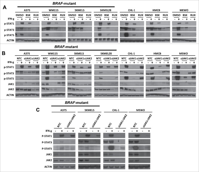 JAK1 shows a greater contribution to IFN-γ stimulated expression of p-STAT1, p-STAT3, and p-STAT5 expression than JAK2. (A) Western blots demonstrating the effect of RUX or BSK pretreatment on the IFN-γ stimulated expression levels of p-STAT1, p-STAT3, and p-STAT5 in BRAF-mutant and BRAF-wildtype melanoma cell lines. Actin was used as a loading control. (B) Western blots demonstrating IFN-γ-induced p-STAT1, p-STAT3, and p-STAT5 expression levels in BRAF-mutant and BRAF-wildtype melanoma cell lines under conditions of non-targeting control siRNA (NTC), specific JAK1 siRNA (siJAK1), or JAK2 siRNA (siJAK2) transfection. (C) Western blots demonstrating IFN-γ-induced p-STAT1, p-STAT3, and p-STAT5 expression levels in BRAF-mutant and BRAF-wildtype melanoma cell lines under conditions of non -targeting control siRNA (NTC), specific JAK1 siRNA (siJAK1), and JAK2 siRNA (siJAK2) transfection.