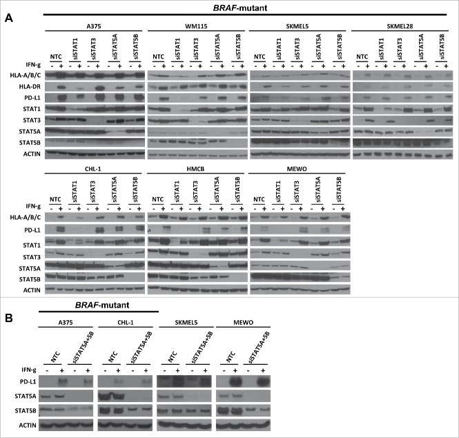STAT1 is the primary molecule downstream of JAKs involved in IFN-γ-induced expression of MHC-I, MHC-II, and PD-L1. (A) Western blots show IFN-γ-induced MHC-I, MHC-II, and PD-L1 expression in BRAF-mutant and BRAF-wildtype melanoma cell lines under conditions of non-targeting control siRNA (NTC), specific siRNA for STAT1 (siSTAT1), STAT3 (siSTAT3), STAT5A (siSTAT5A), and STAT5B (siSTAT5B) transfection. Knockdown efficiency was confirmed by examining STAT1, STAT3, STAT5A, or STAT5B expression and actin was used as a loading control. (B) Western blots show IFN-γ-induced PD-L1 expression in BRAF-mutant and BRAF-wildtype melanoma cell lines under conditions of non-targeting control siRNA (NTC), specific siRNA for STAT5A (siSTAT5A) and STAT5B (siSTAT5B) transfection.