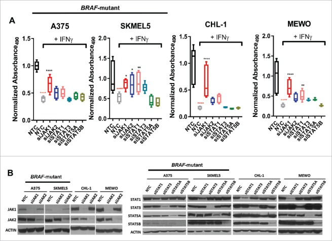 Knockdown of JAK1 partially recovers IFN-γ-induced inhibition of cell proliferation. (A) Graphs show IFN-γ-induced inhibition of cell proliferation in BRAF-mutant and BRAF-wildtype melanoma cell lines under conditions of nontargeting control (NTC) or specific siRNA (siJAK1, siJAK2, siSTAT1, siSTAT3, siSTAT5A, and siSTAT5B) transfection during a 96 hr period. The box graphs denote an absorbance ratio of IFN-γ treatment to control group under each specific siRNA transfection conditions. The absorbance ratio of control group under NTC transfection condition at 96 hr was used as the baseline. (B) Western blots demonstrating knockdown efficiency of siRNA transfection by examining JAK1, JAK2, STAT1, STAT3, STAT5A or STAT5B expression.
