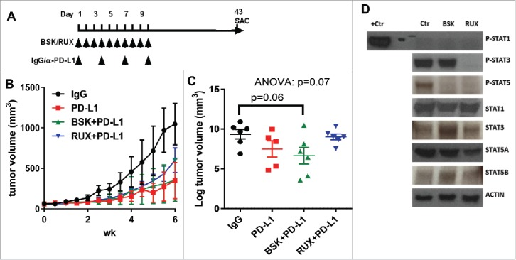 Co-administration of ruxolitinib with anti-PD-L1 antibody partially blocks the immunotherapy efficacy. (A) Schema for the in vivo experiment with results shown in panels B, C and D. (B) Tumor growth curves of YUMM2.1 with at least 5 mice in each group (mean ± SEM) after NVP-BSK805 or ruxolitinib along with anti-PD-L1, or isotype control treatment. (C) The scatter plots illustrate the final tumor volume of YUMM2.1 with at least 5 mice in each group (mean ± SEM) after NVP-BSK805 or ruxolitinib along with anti-PD-L1, or isotype control treatment. (D) Western blots from tumor lysates harvested 1 hr after the last of three consecutive doses demonstrating the effect of NVP-BSK805 or ruxolitinib treatment on STAT1, STAT3 and STAT5 phosphorylation of YUMM2.1 in vivo model tumor samples. Actin was used as a loading control.