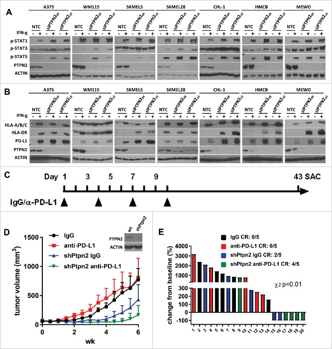 Knockdown of PTPN2 promotes IFN-γ-induced expression of p-STAT1, p-STAT3, and p-STAT5 along with MHC-I, MHC-II, and PD-L1 and potentiates anti-PD-L1 response. (A) Western blots show IFN-γ-induced p-STAT1, p-STAT3, and p-STAT5 expression in BRAF-mutant and BRAF-wildtype melanoma cell lines under conditions of nontargeting control siRNA (NTC) or specific PTPN2 siRNA (siPTPN2) transfection. Knockdown efficiency was confirmed by examining PTPN2 expression and actin was used as a loading control. (B) Western blots show IFN-γ-induced MHC-I, MHC-II, and PD-L1 expression in BRAF-mutant and BRAF-wildtype melanoma cell lines under conditions of nontargeting control siRNA (NTC) or specific PTPN2 siRNA (siPTPN2) transfection. (C) Schema for the in vivo experiment with results shown in panels D and E. (D) Tumor growth curves of YUMM1.1 with 5 mice in each group (mean ± SEM) with anti-PD-L1, or isotype control treatment under shPTPN2 conditions. (E) Waterfall plot of YUMM1.1 tumors with anti-PD-L1, or isotype control treatment under shPTPN2 conditions. The data are expressed as the percentage of tumor volume change from baseline.