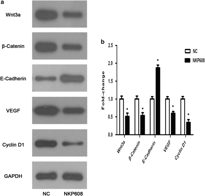 NKP608 inhibited Wnt/β-catenin signaling pathway in colorectal cancer cells. a Western blot revealed that NKP608 resulted in an inhibitory action of Wnt relative proteins and proteins relevant cell growth including β-catenin, Wnt-3a, E-Cadherin, Cyclin D1 and VEGF. b Quantitative expression levels of proteins are shown. Values are expressed as the mean ± SD (n = 3). * p