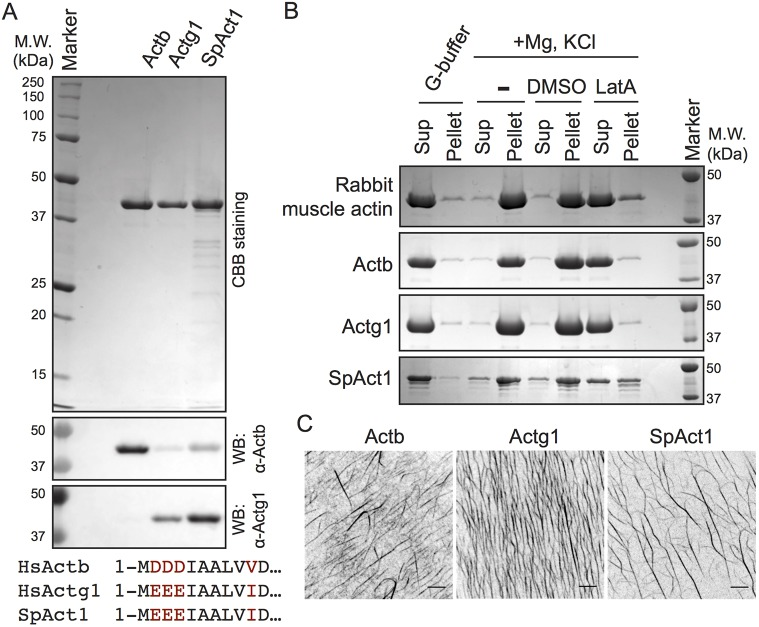 Purification of recombinant human non-muscle actins and fission yeast Act1. (A) CBB gel image showing purified recombinant human β-actin (Actb), human γ-actin (Actg1) and Schizosaccharomyces pombe (SpAct1) actin. Immunoblotting in the bottom panels was performed with antibodies against Actb or Actg1 raised against peptides corresponding to the N-terminus of human β- and γ-actins. Since the N-terminus of S. pombe Act1 has strong similarity to human γ-actin, the anti-Actg1 antibody can recognize S. pombe Act1 as well as γ-actin (see sequence alignment shown at the bottom). (B) Actin sedimentation assays. Purified actin in low-ionic strength buffer (G-buffer) was mixed with <t>KCl,</t> <t>EGTA</t> and Mg 2+ to induce actin polymerization. Actin sedimentation was tested in the presence of 0.5 mM LatA or in solvent control (DMSO) and in the absence of DMSO or Latrunculin A ('−'). After ultracentrifugation, actin in the pellet (Pellet) and supernatant (Sup) fractions were detected by CBB staining following SDS-PAGE. Rabbit muscle actin was used as a positive control. (C) Visualization of F-actin. The specified actins were incubated with KCl, EGTA and Mg 2+ in the presence of 2% PEG. F-actin in all cases was then stained with Rhodamine–phalloidin and imaged by using a Nikon inverted microscope fitted with a Yokogawa spinning-disc head and an Andor iXon camera. Scale bars: 5 µm.