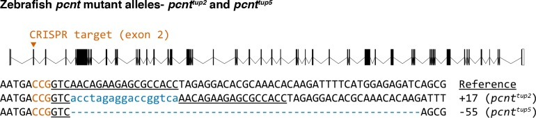 Sequences of two <t>Cas9-induced</t> frameshift mutations (alleles pcnt tup2 and pcnt tup5 ) in the zebrafish pcnt gene. The wild-type reference sequence is on the top. The guide <t>RNA</t> targets the exon 2 of the pcnt transcript (encoded by ENSDARG00000033012). The target site is underlined and the protospacer-adjacent motif (PAM) is in orange (on the reverse strand). Insertions and deletions (indels) are indicated by blue lowercase letters and dashes, respectively. The net change of each indel mutation is noted at the right of each sequence (+, insertion; −, deletion).