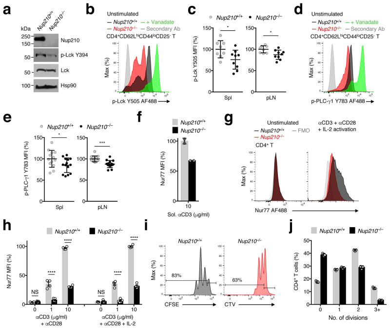 Nup210 is required for TCR signaling ( a ) Immunoblot analysis of p-Lck (Y394) and total Lck protein levels in Nup210 +/+ and Nup210 −/− naïve CD4 + T cells. Hsp90 used as loading control. ( b , c ) Flow cytometric analysis of p-Lck (Y505) expression (b) and mean fluorescence intensity (MFI) (c) in resting naïve CD4 + (CD4 + CD62L hi CD44 lo CD25 − ) T cells from Nup210 +/+ and Nup210 −/− mice. Activation with sodium peroxyvanadate used as positive control. Secondary Ab: fluorescently labeled secondary antibody stained sample. MFI is shown relative to that of Nup210 +/+ mice. ( d , e ) Flow cytometric analysis of p-PLC-γ1 (Y783) expression (d) and MFI (e) in resting naïve CD4 + (CD4 + CD62L hi CD44 lo CD25 − ) T cells from Nup210 +/+ and Nup210 −/− mice. ( f ) Flow cytometric analysis of Nur77 expression in Nup210 +/+ or Nup210 −/− CD4 + CD44 lo T cells stimulated for 16 hours with soluble (sol.) anti-CD3 mAb. Values are displayed relative to sol. anti-CD3-stimulated Nup210 +/+ cells. ( g ) Flow cytometric analysis of Nur77 expression in unstimulated (left) or TCR-stimulated (right) Nup210 +/+ and Nup210 −/− CD4 + CD44 lo T cells. TCR stimulation was performed with plate-bound anti-CD3 and anti-CD28 mAbs, and soluble IL-2 for 14 hours. FMO, fluorescence minus one. ( h ) Flow cytometric analysis of Nur77 levels in CD4 + T cells stimulated as in (g) or without IL-2 supplementation. Values shown are relative to control treated cells. ( i ) Flow cytometric analysis of CFSE and CTV dilutions 48 hours after stimulation of CFSE-labeled Nup210 +/+ and CTV-labeled Nup210 −/− CD4 + CD44 lo T cells with plate-bound anti-CD3/ anti-CD28 mAbs and soluble IL-2. The percentage of cells that have undergone proliferation is indicated. ( j ) The percentage of cells from (i) that underwent 1–3 divisions was quantified. ( c , e , h ) mean ± s.e.m., each symbol represents an individual mouse, ( f , j ) mean ± s.d.; each symbol represents a technical replicate; ( a ) biological samples pr