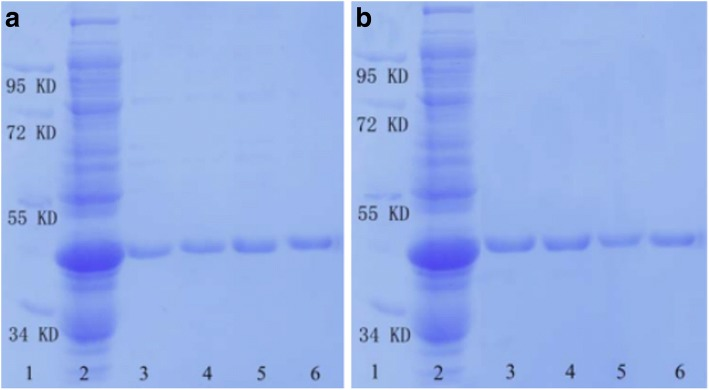 SDS-PAGE analysis of purified GST-tagged proteins separated by SnO 2 /SiO 2 -GSH NSs. a Lane 1, marker; lane 2, E. coli lysate; lanes 3–6 refer to the fractions washed off from the SnO 2 /SiO 2 -GSH NSs with different concentrations of GSH solution (lane 1, 10 mmol/L; lane 2, 20 mmol/L; lane 3, 50 mmol/L; lane 4, 100 mmol/L). b Lane 1, marker; lane 2, E. coli lysate; lane 3, 1st separation; lane 4, 2nd separation; lane 5, 3rd separation; and lane 6, the fractions washed off from the Glutathione Sepharose 4B