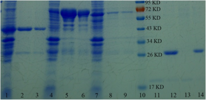 SDS-PAGE analysis of the purified recombinant GPX3, OST1, and ABI2 proteins. Lanes 1, 4, and 7, E. coli lysate; lanes 2, 5, and 8, the proteins eluted from commercial Glutathione Sepharose 4B (GE Healthcare, USA); lanes 3, 6, and 9, the proteins eluted from SnO 2 /SiO 2 -GSH NSs; lane 10, the marker; lanes 11 and 13, GPX3 obtained after the GST tag is cut off from Glutathione Sepharose 4B bound GST-GPX3 and SnO 2 /SiO 2 -GSH NSs bound GST-tagged GPX3; lanes 12 and 14, GST tag eluted from Glutathione Sepharose 4B and SnO 2 /SiO 2 -GSH NSs
