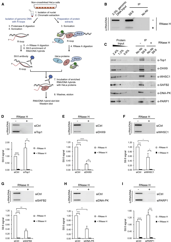 Validation of New RNA/DNA Hybrid Interactome Candidates (A) Workflow of RNA/DNA hybrid IP with RNase H digestion. (B and C) HeLa genomic DNA input was either treated (+) or not (−) with RNase H before enrichment for RNA/DNA hybrids with the S9.6 antibody. Genomic RNA/DNA hybrids were incubated with nuclear extracts depleted for RNA/DNA hybrids with RNase A, followed by S9.6 IP. RNA/DNA hybrid slot blot (B) and western blot of RNA/DNA hybrid IP, probed with indicated antibodies (C). (D–I) Genomic DNA from HeLa cells transfected with control (siCtrl) or indicated siRNAs was treated with RNase H. siTop1 (D), siDHX9 #1 (E), siWHSC1 (F), siSAFB2 (G), siDNA-PK (H), siPARP1 (I) were used. Top: RNA/DNA hybrid slot blot. Bottom: quantification of S9.6 signal. Values are normalized to the siCtrl and represent the means ± SEMs, n ≥ 3. See also Figure S3 .