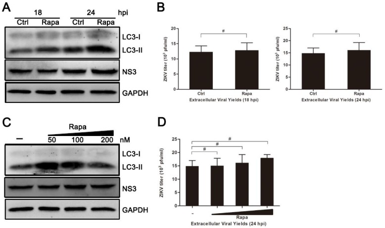 Treatment of rapamycin has no effect on ZIKV infection in HUVEC. ( A ) HUVEC were pretreated with rapamycin (Rapa) (100 nM) or DMSO (Ctrl) in complete medium and then processed as described for Figure 4 A; ( B ) At 18 and 24 hpi, extracellular virus yields were determined by plaque assay on Vero cells and expressed as pfu/mL; ( C ) HUVEC were pretreated with Rapa or DMSO and then processed as described for panel A, with drug concentrations of 50, 100, 200, and 500 nM; ( D ) Extracellular virus yields at 24 hpi were determined and expressed as pfu/mL. Data are presented as means ± SDs from three independent experiments. Significance was analyzed with two-tailed Student's t test and compared to the control group. # p > 0.05.