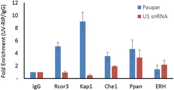 Characterisation of Paupar lnc RNA –protein interactions using UV ‐ RNA ‐ IP Nuclear extracts were prepared from UV cross‐linked N2A cells and immuno‐precipitated using either the indicated antibodies or a rabbit IgG control antibody. Associated RNAs were stringently washed and purified. The levels of Paupar and U1snRNA were detected in each UV‐RIP using qRT–PCR. Results are presented as fold enrichment relative to control antibody. Mean values ± SEM, N = 3.