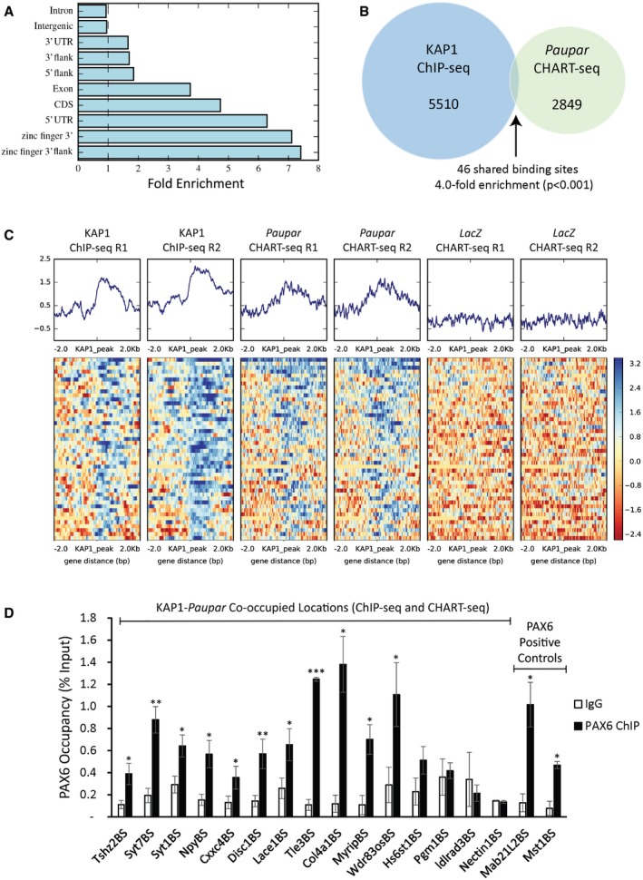 Paupar co‐occupies a subset of KAP 1 binding sites on chromatin genome‐wide 5,510 KAP1 binding sites common to both replicates were identified relative to input DNA (1% FDR; Dataset EV4 ). Sites of KAP1 occupancy are particularly enriched at promoter regions (5′ UTRs), over gene bodies and over the 3′ UTR exons of zinc finger genes [ q = 2 × 10 −5 ; GAT randomisation test (Heger et al , 2013 )]. Intersection of KAP1 and Paupar binding sites in N2A cells identified 46 KAP1 bound locations that are specifically co‐occupied by Paupar . This represents a significant fourfold enrichment [ P