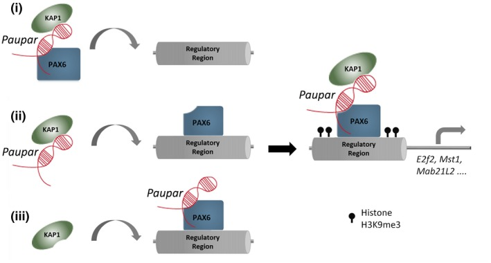 Schematic detailing possible Paupar mode of action at distal bound regulatory regions Paupar promotes KAP1 chromatin association and H3K9me3 deposition through the assembly of a DNA bound ribonucleoprotein complex containing Paupar , KAP1 and PAX6 within the regulatory regions of direct target genes such as Mab21L2 , Mst1 and E2f2 . We propose three potential (non‐mutually exclusive) scenarios to describe the order of assembly of this complex: (i) A ternary complex forms in the nucleoplasm before binding DNA; (ii) Paupar interacts with KAP1 and guides it to DNA bound PAX6; or (iii) KAP1 is recruited to a DNA bound PAX6‐ Paupar complex. This leads to local H3K9me3 modification changes at these bound sequences in trans . The model was generated taking into consideration the discovery that Paupar genome‐wide binding sites contain an enrichment of motifs for neural transcription factors but are not enriched for sequences that are complementary to Paupar itself (Vance et al , 2014 ). This suggests that Paupar does not bind DNA directly but is targeted to chromatin indirectly through RNA–protein interactions with transcription factors such as PAX6. Moreover, KAP1 is a non‐DNA binding chromatin regulator that is also targeted to the genome through interactions with transcription factors.
