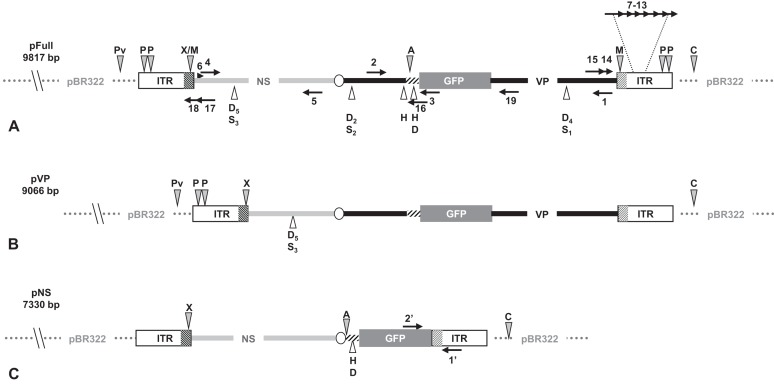Schematic organization of JcDV-based plasmids used to generate linear sequences for transfection experiments. pBR322 backbone is figured as dotted gray line. JcDV structural proteins ( VP ) coding sequences are represented by a solid black line; non-structural proteins ( NS ) genes by a solid gray line. Both share a polyadenylation signal shown as an open ellipse. Open boxes figure the p9 and p93 ITRs, hatched boxes underline the location of p9 and p93 promoters, respectively. GFP coding sequence is figured with a gray box and its 3′ SV40-derived polyadenylation signal is shown as a hatched line. Arrows numbered according to Table 1 figure the primers used for PCR-based experiments. Primers used for walk-PCR are represented above; primers 7–13 represented only relatively to p9 can also hybridize to p93 DNA sequences when present. Gray-filled arrowheads figure restriction sites used to generate linear molecules from the plasmid constructs. Open arrowheads figure restriction sites used for walk-PCR experiments. Subscript numbers indicate iterated restriction sites. By convention, nucleotide numbers of each linear molecule are accorded to the 5′ C generated after Cla I restriction (AT/CGAT). Restriction enzymes are: A: Afl II, C: Cla I, D: Dra I, H: Hpa I, M: Msp A1L, S: Ssp I, P: Psh AI, Pv: Pvu II, X: Xcm I, respectively. Linear molecules were obtained after restriction of three different JcDV-based vectors. Their length is indicated under the name of each plasmid: (A) pFull encompassing a full-length sequence of JcDV DNA and the GFP marker gene, cloned into pBR322 plasmid. This schematic representation displays all the symbols described above; some of them only are reported in B and C. (B) pVP in comparison to pFull, a frameshift deletion affects the NS region (C) pNS in comparison to pFull, lacks VP genes. The expression of GFP is directly under the control of the p9 promoter. Primers giving rise to specific products after PCR are shown (See Table 1 ).