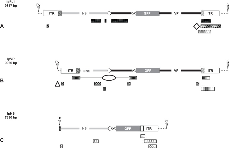 Schematic representation of viral and genomic DNA sequences identified in our experiments. Raw sequences obtained after numerous amplifications of viral-genomic junctions ( Supplemental Information ) where aligned against (i) the sequence of the transfected linear plasmid using the discontiguous megablast conditions, (ii) the nr/nt nucleotide collection specified to Spodoptera frugiperda (taxid 7108), using the blastn conditions. Only the cleaned sequences are represented and motifs identify contiguous sequences from the same amplified sequence, named on the right. (A) BLAST-based alignment against lpFull of raw sequences obtained after amplifications of viral junctions from lpFull-transfected cells. The open diamond represents the location of ∼20 nts from the Bac 68E14 from S. frugiperda [id:681381.1] as a significative example of the rearrangement. (B) BLAST-based alignment against lpVP of raw sequences obtained after amplifications of viral junctions from lpVP-transfected cells. The triangle represents 70 nts of BAC 75E05 from S. frugiperda [id: 681368.1] flanking a 40 nts fragment of the ITR (2–40) and the ellipse represents 70 nts of the same BAC intercalated between a JcDV VP fragment (3,829–3,531) and the NS -ITR boundary (771–551). (C) BLAST alignment against lpNS of raw sequences obtained after amplifications of viral junctions from lpNS-transfected cells.