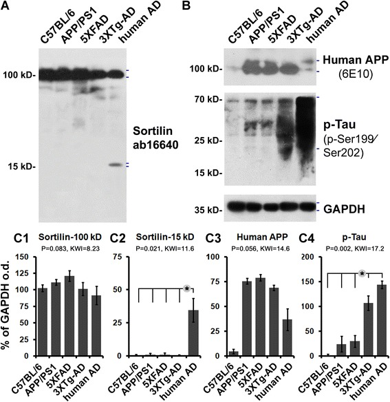 Comparative immunoblot assessment of sortilin relative to human β-amyloid precursor protein (APP) and phosphorylated tau (p-tau) protein products in transgenic mouse cortical extracts. Transgenic tissue homogenates are from the same age groups of amyloid precursor protein and presenilin 1 double-transgenic (APP/PS1), five familial Alzheimer's disease mutations transgenic (5×FAD), and triple-transgenic Alzheimer's disease (3×Tg-AD) mice used in histological studies, with lysates from adult C57BL/6 mice and from human patients with AD serving as controls. a and b Western blot images from one batch-processed set of samples. c1 – c4 Quantitative summaries of the protein levels relative to glyceraldehyde-3-phosphate dehydrogenase (GAPDH) as an internal control, expressed as a percentage of GAPDH optical density (o.d.) for the groups ( n = 4/group). Levels of the ~ 100 kDa sortilin band representing the full-length protein are comparable between the groups ( a , c1 ). The ~ 15 kDa sortilin band is not readily seen in all mouse brain lysates, in contrast to the human tissue as positive control ( a , c2 ). The human APP protein bands (~ 100 kDa) detected by the 6E10 antibody are distinct in the lysates from the three transgenic models and human cortex, but not in that of the C57BL/6 control ( b , c3 ). Immunoblotted p-tau products migrate as a smear of bands (20–70 kDa), mostly abundant in the human lysates but clearly present in the 3×Tg-AD samples, with minimal amounts in the C57BL/6, APP/PS1, and 5×FAD samples ( b , c4 ). Hash marks to the right of the immunoblot images indicate the band(s) used for densitometry. Statistical results (Kruskal–Wallis nonparametric test with Dunn's multiple post hoc comparison) are shown in the bar graphs, with the asterisks indicating significant intergroup differences