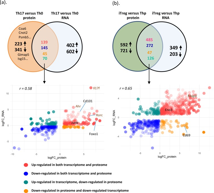 Correlation of protein and RNA expression changes during Th17 and iTreg cell differentiation. Venn diagram showing the comparison of DE proteins with corresponding transcripts and DE transcripts with encoded detected proteins in comparison of Th17 and Th0 cells (a) or iTreg versus Thp cells (b). Scatterplot of proteins that were observed in proteomic and transcriptomic comparison of Th17 versus Th0 cell (a) or iTreg versus Thp cells (b). The lists of detected proteins and transcripts in Th17 versus Th0 cells and in iTreg versus Thp cells are in S4 Data . Ahr, aryl hydrocarbon receptor; Cnot2, CCR4-NOT transcription complex subunit 2; Coa6, cytochrome c oxidase assembly factor 6; DE, differentially expressed; Eno3, enolase 3; Foxo1, forkhead box O1; Foxp3, forkhead box P3; Gimap5, GTPase IMAP family member 5; Il17f, interleukin 17F; Isg15, interferon-stimulated gene 15; iTreg, induced regulatory T; Psmb5, proteasome subunit beta 5; Rorc, retinoic acid receptor–related orphan receptor C; Th0, T cell receptor–activated helper T; Th17, T helper 17; Thp, naïve CD4+ T.
