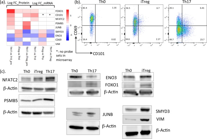 Validation of protein expression changes with different technologies. (a) Heatmap showing the log fold change values (in S5 Data ) of proteins and mRNA DE in Th17 and iTreg cells in comparison with Th0 cells and Th17 compared with iTreg cells. (b) Flow cytometry analysis demonstrating the expression of surface molecules CD69 and CD101 in murine Th0, iTreg, and Th17 cells. One replicate is shown. (c) Immunoblot analysis of DE proteins in iTreg and Th17 cells compared to Th0 cells. Representative blots from 2–3 independent experiments are shown. DE, differentially expressed; <t>ENO3,</t> enolase 3; FOXO1, forkhead box O1; iTreg, induced regulatory T; NFATC2, nuclear factor of activated T cells 2; PSMB5, proteasome subunit beta 5; SMYD3, SET and MYND domain containing 3; Th0, T cell receptor–activated helper T; Th17, T helper 17; Thp, naïve CD4+ T; VIM, vimentin.