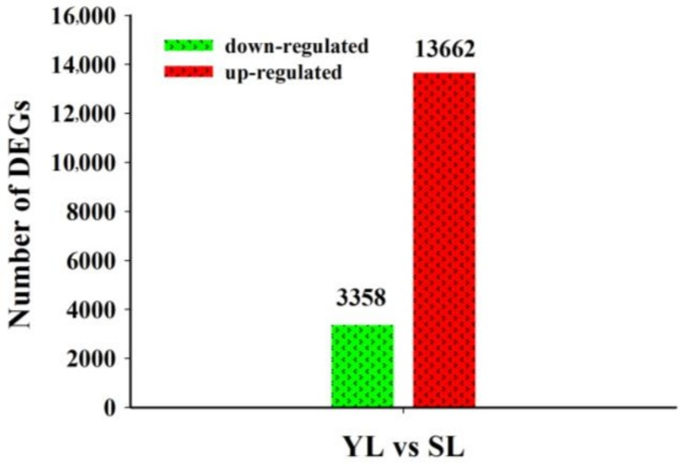 Number of differentially expressed unigenes during leaf senescence identified by RNA-Seq data in Lonicera macranthoides . Differentially expressed unigenes (DEGs) between young and senescing leaves were illustrated by bar chart. Red and green bars represent the up-regulated and down-regulated unigenes in senescing leaves (SL) compared with those in young leaves (YL), respectively in Lonicera macranthoides .