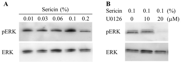 Effect of 0.01–0.2% sericin ( A ) and 0–20 μM <t>U0126</t> ( B ) on the phosphorylation of ERK1/2 in HCE-T cells. ( A ) 0.01–0.2% sericin was dissolved in 0.05% DMSO, and treated for 24 h. ( B ) 0–20 μM U0126 was dissolved in 0.05% DMSO, and treated for 24 h. The phosphorylation of ERK1/2 was enhanced with the increase in sericin concentration; 20 μM U0126 prevented the phosphorylation of ERK1/2 in HCE-T cells.