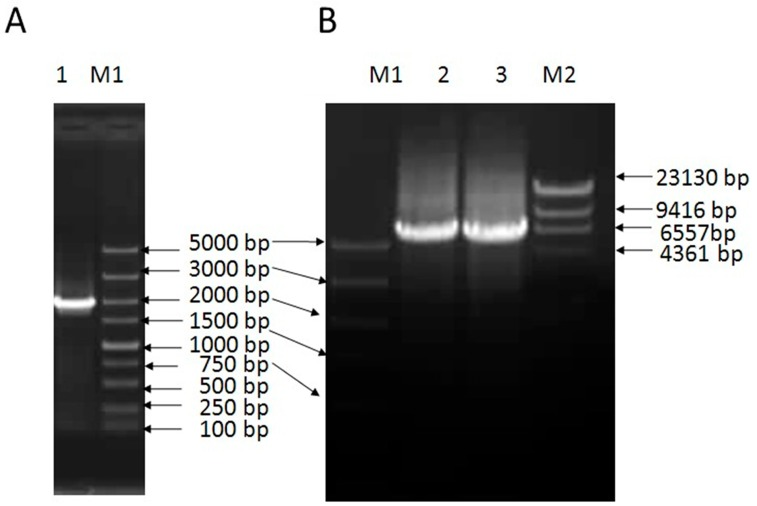 Cloning of VpSBP16 from V . pesudoreticulata . ( A ) PCR amplification of the full-length VpSBP16 cDNA and ( B ) DNA from Vitis pseudoreticulata . M1: DNA marker DL5000; M2: DNA marker λ-Hind III; 1: VpSBP16 PCR product from cDNA; 2 and 3: VpSBP16 PCR product.