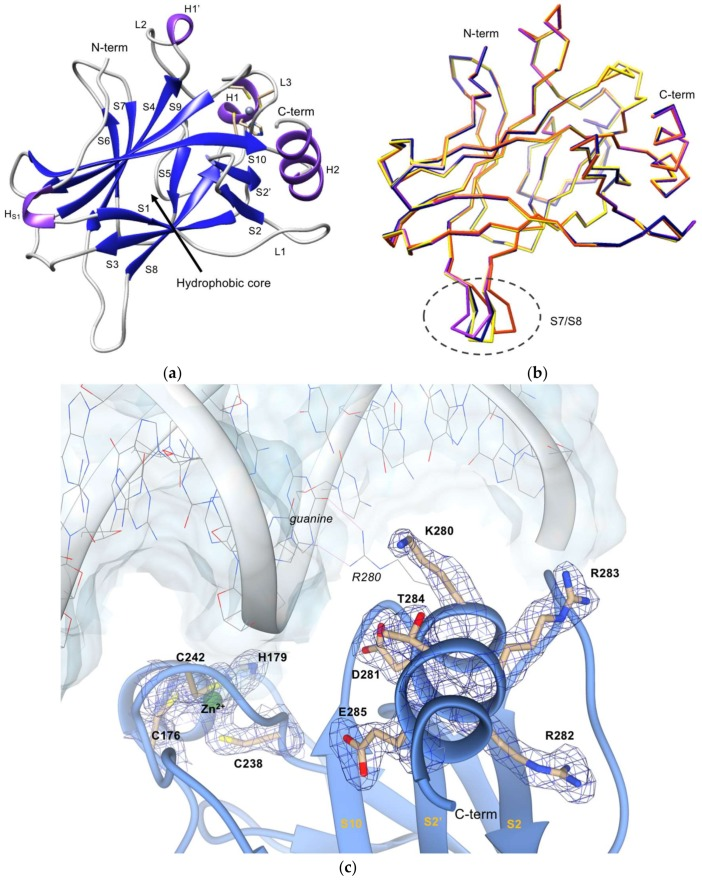 Crystal structure of p53R280K DBD. ( a ) Ribbon diagram of p53R280K DBD; strands are shown in dark blue, helices in purple, linked by gray coils. The zinc(II) ion is represented by a gray sphere near L3 loop and H1 helix and its coordinating amino acid residues (C176, H179, C238, C242) are shown as yellow sticks. ( b ) Backbone superposition of the four molecules of p53R280K DBD in the asymmetric unit of the crystals. Molecule A, purple; molecule B, yellow; molecule C, blue; molecule D, orange. Encircled by a gray dashed line is the region with the highest structural variation, the S7/S8 turn. ( c ) Electron density map calculated around the C-terminus residues and the zinc(II) ion, in green (2mF o -DF c map at 1σ level and 2 Å resolution). The p53R280K DBD polypeptide chain is represented in blue ribbon. Clear electron density for the lysine residue at position 280 is seen in all molecules of the asymmetric unit in the p53R280K DBD domain structure. The DNA fragment and the arginine residue of the wt form (PDB code 2AC0) are superposed to illustrate the orientation of the protein in relation to the DNA and are depicted in color-coded wire-frame and labeled in italic. The two direct hydrogen contacts with guanine, that are disrupted in the p53R280K structure, are depicted as pink thin lines. Residues from p53R280K are labeled in bold, while residues in the wt complex are labeled in italics.