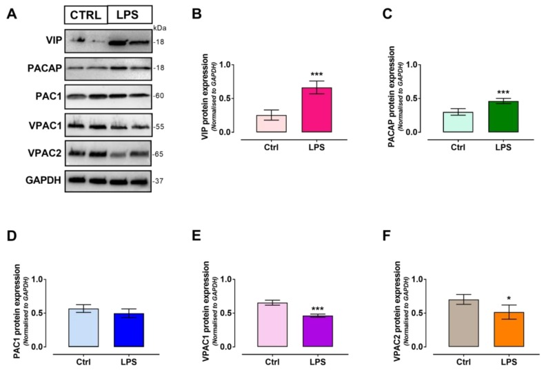 ( A ) Representative Western blots showing the effects of 24 h exposure to 1 µg/mL LPS in RT4 SCs. Semi-quantitative analyses of bands' intensities show significant increases both in ( B ) VIP and ( C ) PACAP protein expression levels, but not in ( D ) PAC1 receptor, which was unaffected by treatment. Conversely, both ( E ) VPAC1 and ( F ) VPAC2 receptor levels were diminished. Data are the mean ± SEM of two experiments, each using 2 separate batches of cells per group ( n = 4). * p